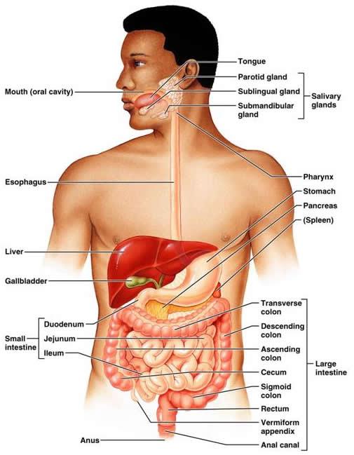 Схема.  Органы пищеварения.  Модификация: Human Physiology.  Dee Unglaub Silverthorn, Ph.D., University of Texas...